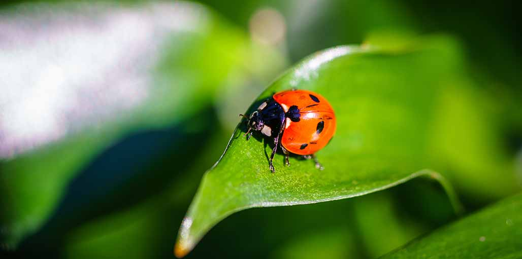 Ladybird bug on a green leaf