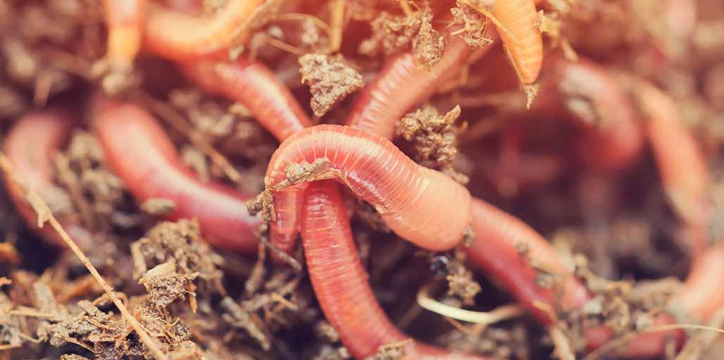 Lots of Earthworms in soil