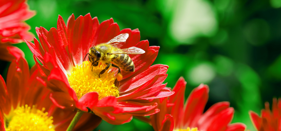 Bee pollinating red flower in the sun