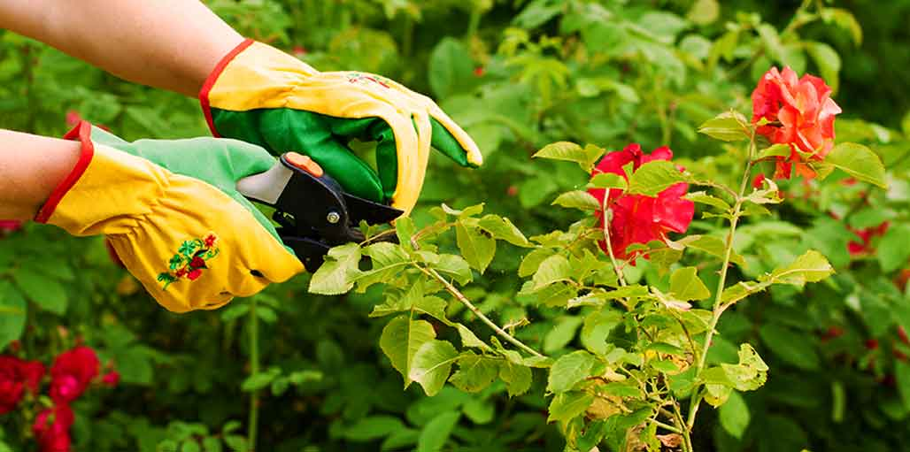Pruning red flowers - wearing gloves