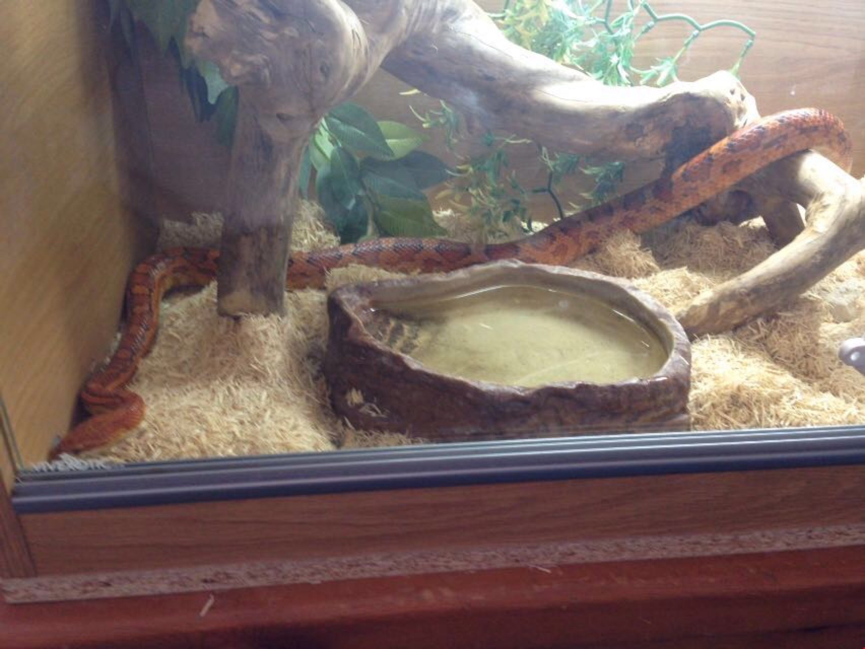 Corn snake belonging to HomeServe employee