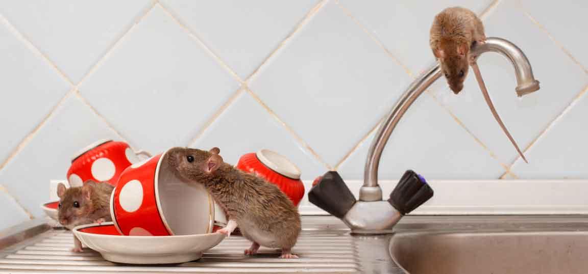Rats in kitchen sink