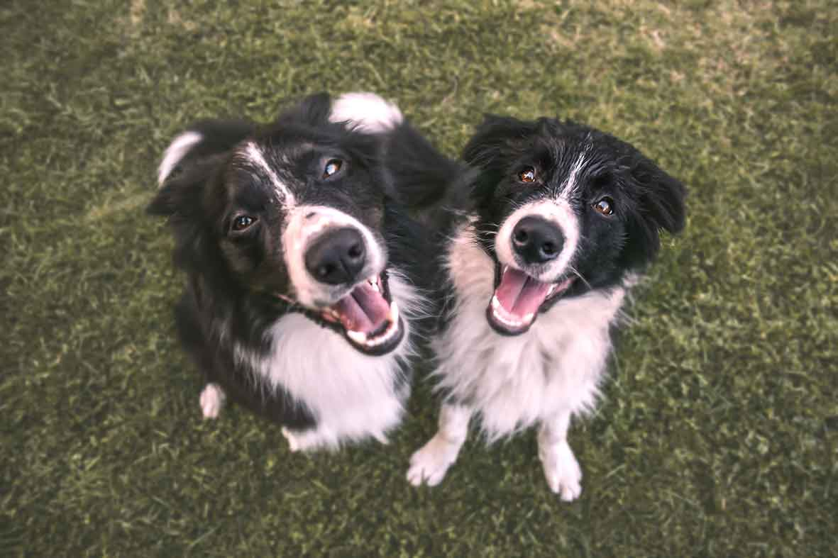 two black and white dogs